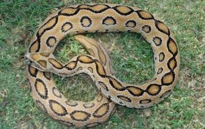 most poisonous snake in india